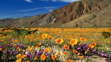 According to the Anza-Borrego Foundation, this winter's rainfalls, the heaviest in a decade in the area, have wildflower experts predicting a record bloom at the state park.