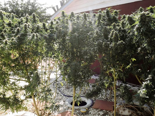 Marijuana plants in the backyard of a home in Artesia were seized by the Pecos Valley Drug Task Force on Friday.