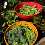 Vegetables are harvested from the  garden of the Duffie Family of Claremont, Calif.