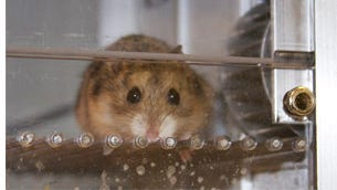 USDA cited FSU with two violations concerning the treatment of test hamsters