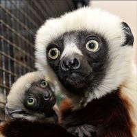 internet mourns loss of celebrity lemur zoboomafoo