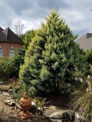 This form of Arizona Cypress called 'Sulphureus' provides