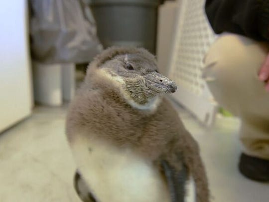 This penguin is one of the infants born at Ripley's