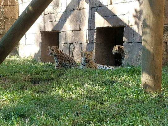 Amur leopard cubs born in April at the Greenville Zoo