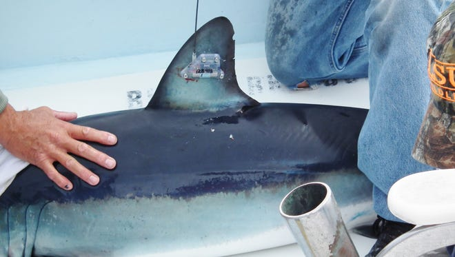 A mako shark is tagged by researchers in this 2013 file photo. Researchers plan to catch and attach SPOT tags to 20 makos in May off Delmarva.