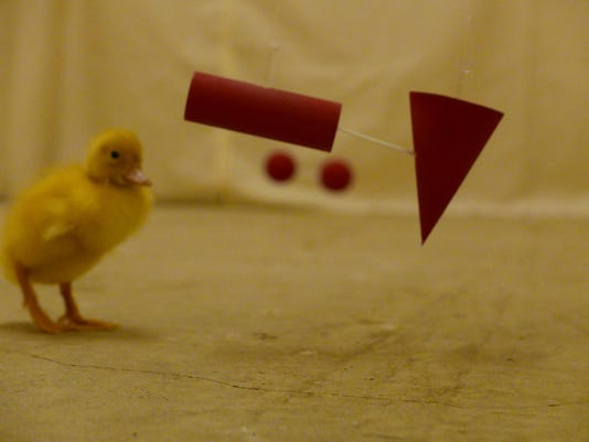 Duckling in experiment
