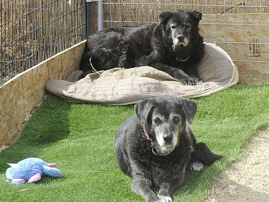 Harold (rear) and Itsy are two of the kennel's older