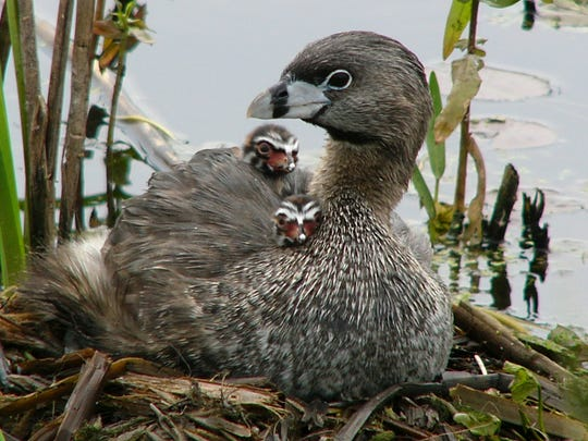 This Pied-billed Grebe with its young was photographed by Catherine McCollumn of Syracuse at Montezuma National Wildlife Refuge.