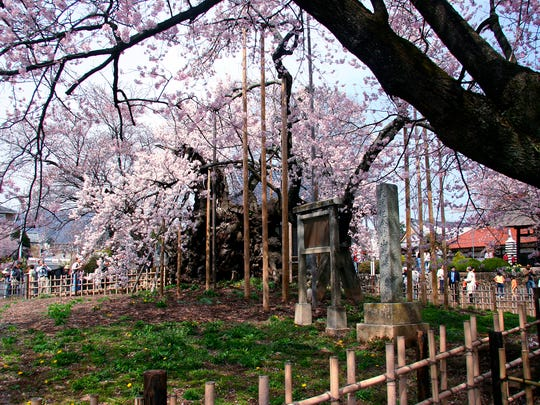 Yamataka Jindai in Hokuto City, Yamanashi, Japan, features