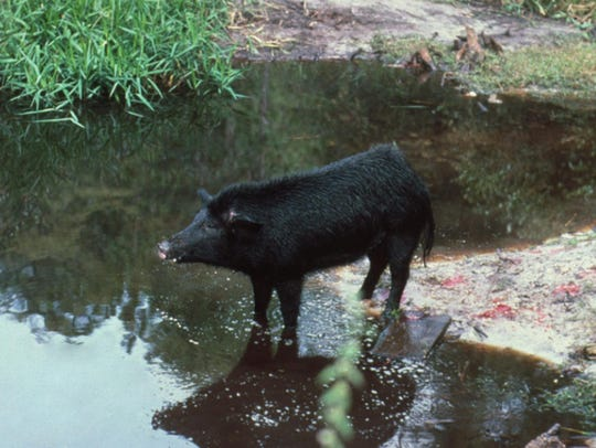 Feral hogs can cause large areas of disturbed soil, even in a residential setting