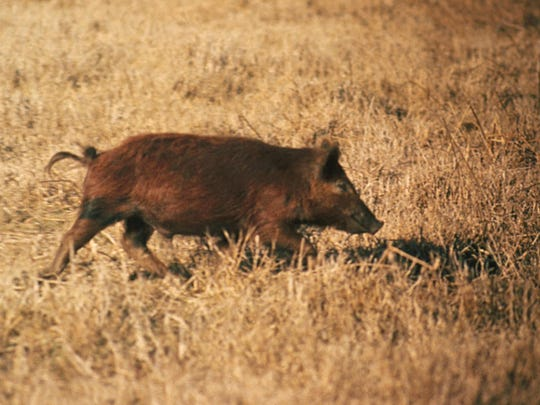 Feral hogs can live in any type of habitat, and often