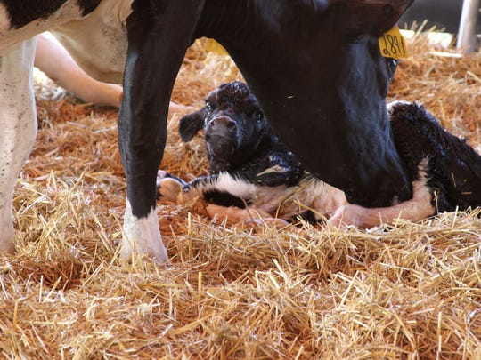A calf is born in the Sanilac County Miracle of Life tent in 2016.