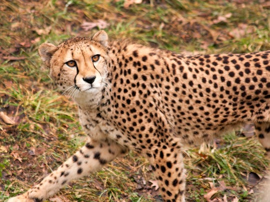 Binder Park Zoo is the only zoo in Michigan with cheetahs, Lead Keeper Kathryn Sippel said.