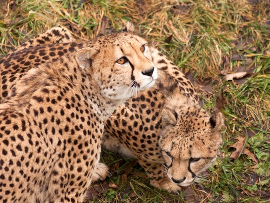 There are three cheetahs at Binder Park Zoo, which opens up again in April.