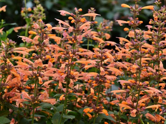 Hummingbirds and butterflies love 'Mango Tango' agastache.