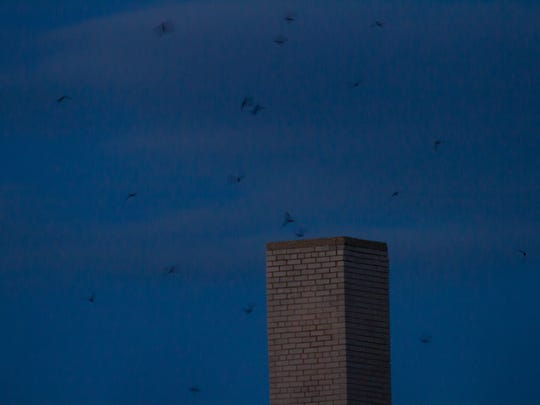 Chimney swifts at dusk fly toward an old brick chimney.