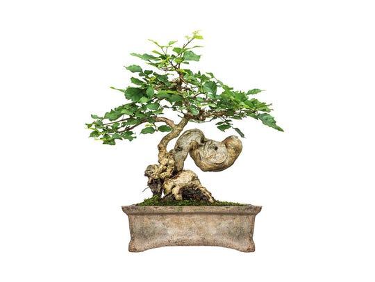 Leonard J. Buck Garden will host an exhibit of Bonsai