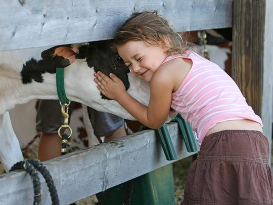Raegan Laroche, 3, of Addison hugs one of the competition cows at the 4-H barn at the 2016 Franklin County Field Days in Highgate.