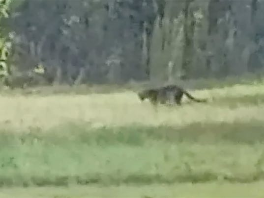 Big Cats In Alabama