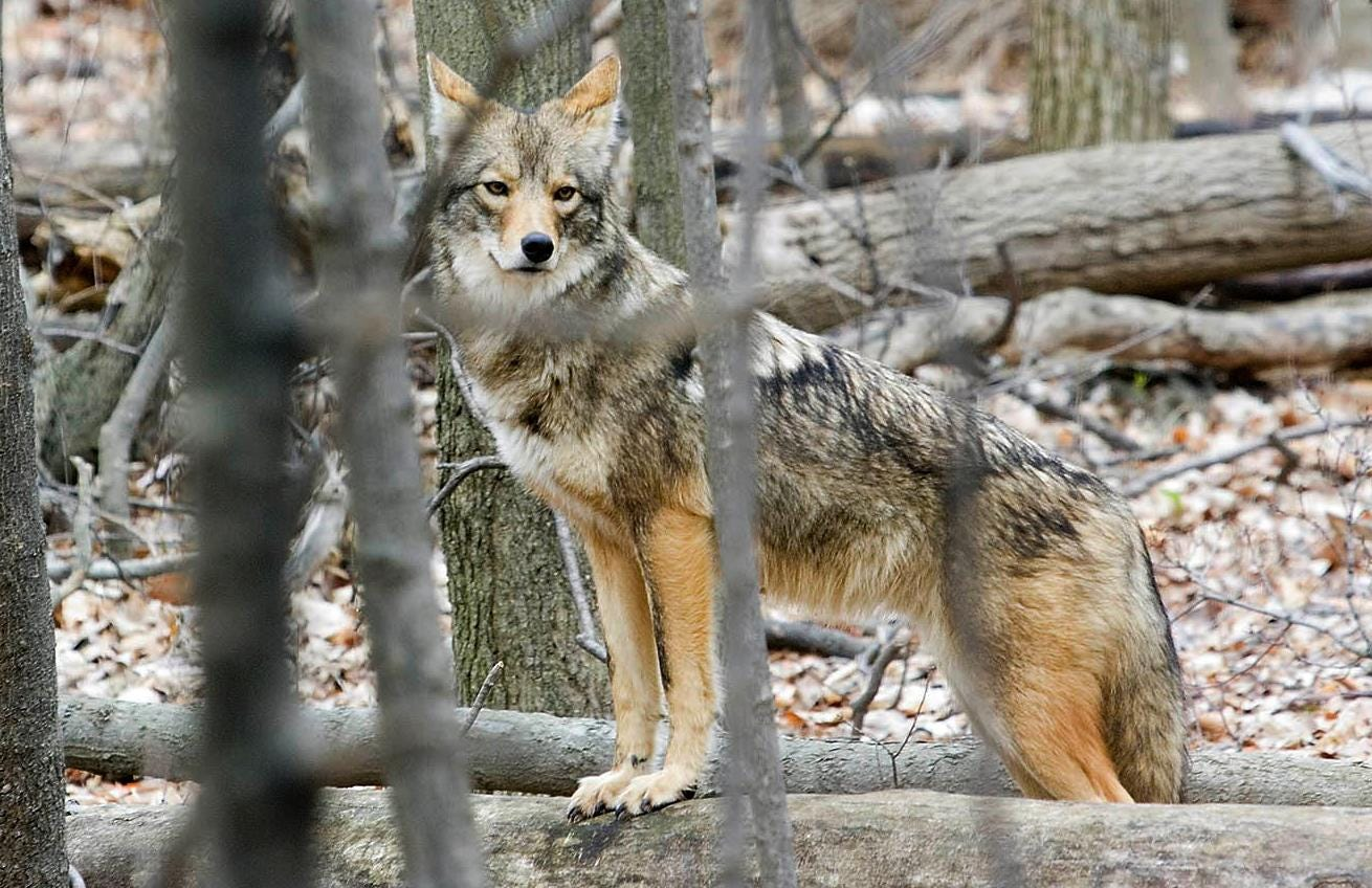 Detroit area coyote encounters raise hackles