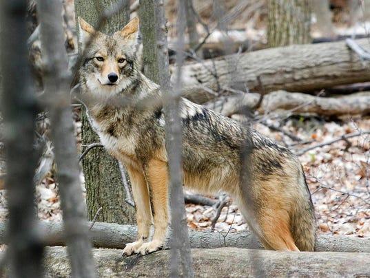 01-Coyote-backyard