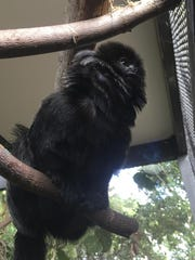 In this undated photo provided by the Palm Beach Zoo, Kali, a 12-year-old rare Goeldi's monkey, sits on a branch at an enclosure at the zoo, in West Palm Beach, Fla.