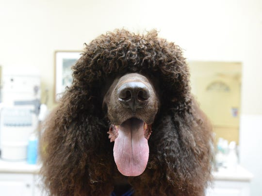 Lake the Irish water spaniel.