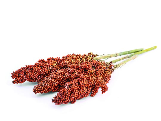 Sorghum is a grass resembling broom corn, and from