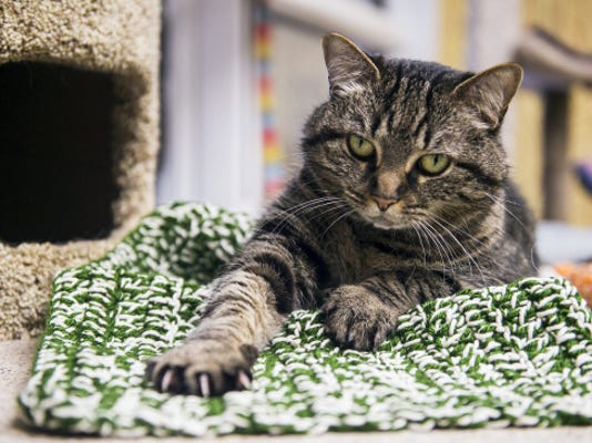Zoey, a 7 year-old short-hair cat, relaxes on a knitted mat made for the cats at the Carroll County Humane Society on May 20.  The new community cat room at the shelter is hosting a Catknit knitting group every third Wednesday of the month from 2 to 4 p.m. Knitters can make toys and beds for the cats.