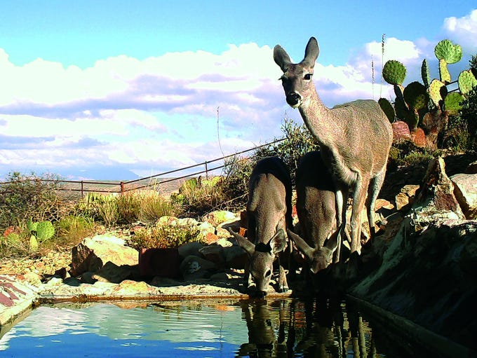 Deer drink water from a catchment maintained by the