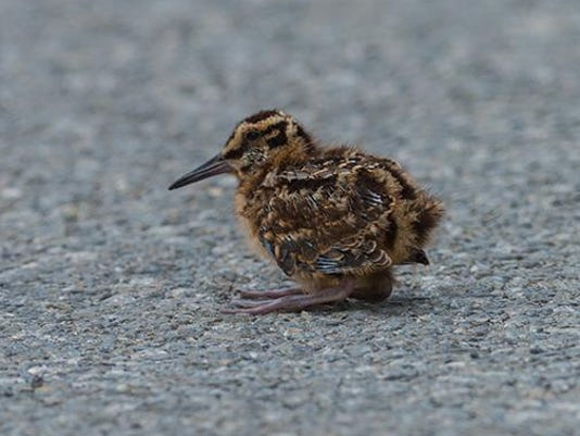 Young American Woodcock. Photo by Carl Mueller