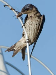 A purple martin snacks on a dragon fly.