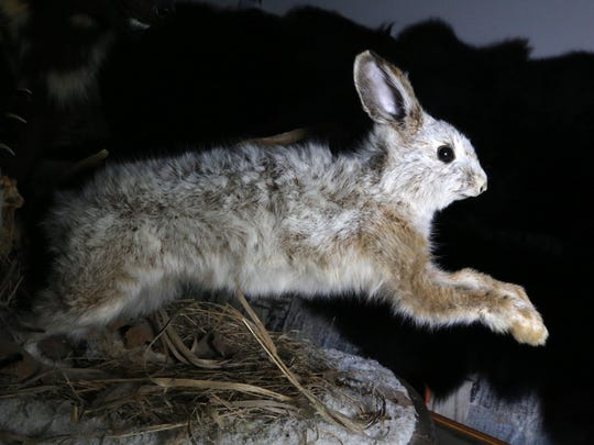 A preserved snowshoe hare. Sightings of the color-changing rabbit have become rare, with a study pointing to climate change as a cause.