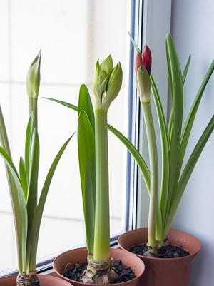 Houseplants that grow near a sunny eastern or northern window in summer may need a southern or western exposure in winter.