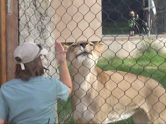 Lions are allowed to get up close and personal with their trainers and are viewable from a classroom located in the lodge.