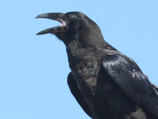 This raven was squawking in Allendale last spring but