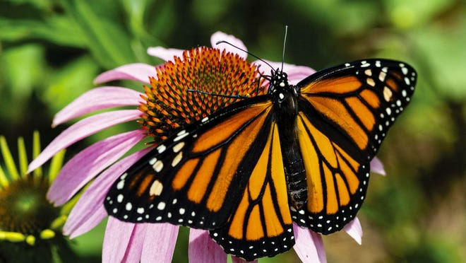 A monarch butterfly rests on purple coneflower in a backyard garden in Lincoln in Lancaster County.