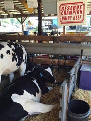 A runner-up in the dairy beef competition relaxes on the final day of the Crawford County Fair.