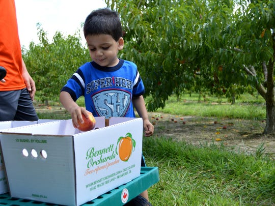 Caleb Davis, 3, picks peaches at Bennett Orchards.
