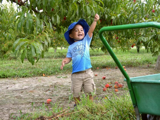 Lincoln Ramirez, 3, picks peaches at Bennett Orchards.