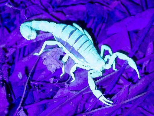 A scorpion glows under black light at Boyce Thompson