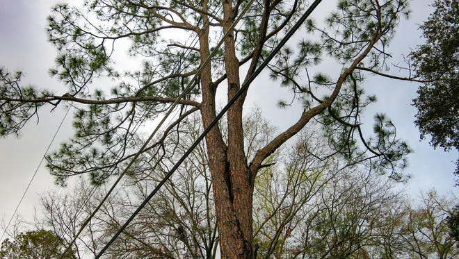 The co-dominant stems in the top of this pine make it extremely likely to split in a storm, probably falling right on top of the utility lines.