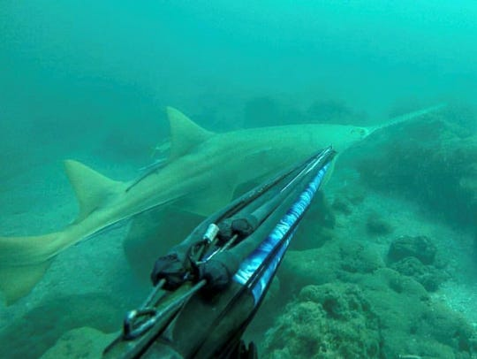 An estimated 7-10 foot long sawfish was captured on