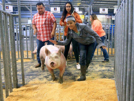 Christina Hernandez from Banquete navigates Whitey, a crossbred swine, to his pen Tuesday, Jan. 12, 2016, during the 81st Annual Nueces County Junior Livestock Show in Robstown.