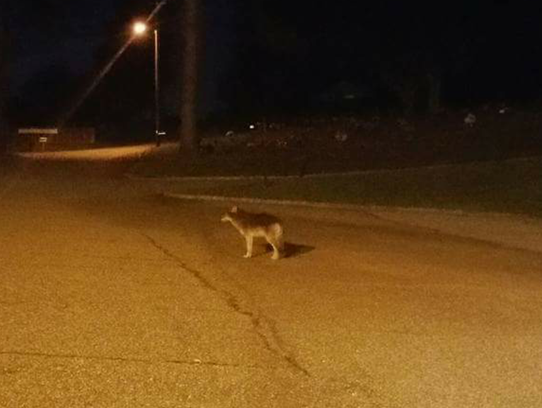 Forest Hills resident, Sarah Groves spots a coyote