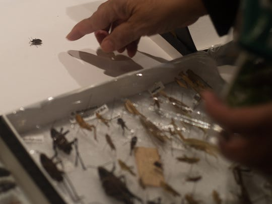 Jeurel Singeton points to a live squash bug as she reviews her insect collection.