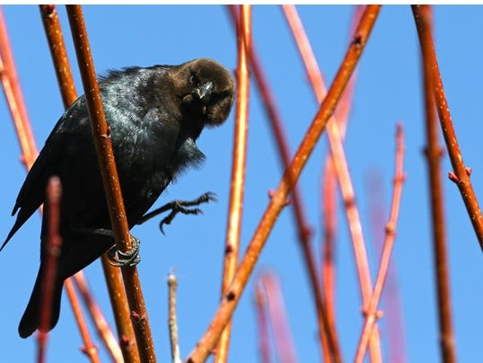 brown headed cowbird.jpg
