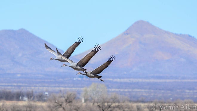One of Arizona's most incredible wildlife spectacles can be experienced at Whitewater Draw Wildlife Area, where tens of thousands of sandhill cranes gather to roost. The best times to see the huge flocks are morning when the birds leave to feed and evening when they return to sleep. Vernie Aikins of Tucson photographed this trio flying in formation. See more of his photos at instagram.com/pedalpics.