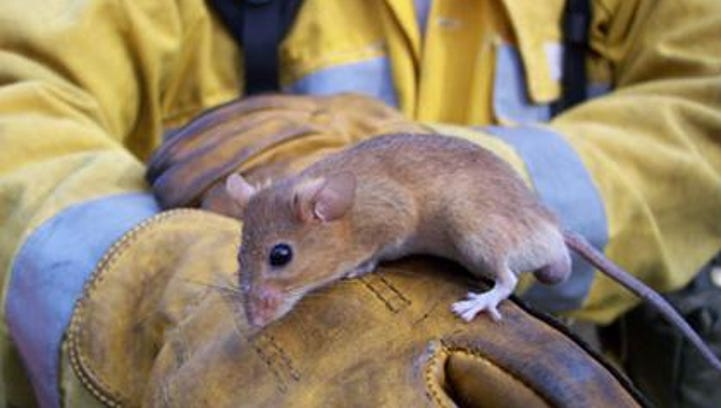 A golden mouse will often build its feeding platforms