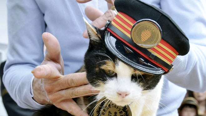 In this April 29, 2015 photo, Tama, a cat stationmaster, Japanís feline star of a struggling local railway, receives a birthday cake on her 16th birthday in Kinokawa, Wakayama Prefecture, western Japan.